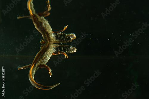Fototapeta Danube crested newt, Triturus dobrogicus in black water with reflection obraz