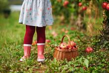Toddler Girl Picking Red Ripe ...