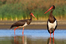 Black Stork. Feeding Bird On A Lake. Ciconia Nigra