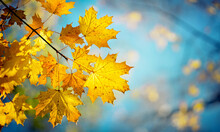 Autumn Yellow Maple Leaves On A Blurred Forest Background, Very Shallow Focus. Colorful Foliage In The Autumn Park. Excellent Background On The Theme Of Autumn.