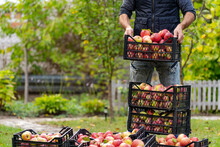 Ripe Juicy Red Apples Lie In A Wooden Box In The Garden. Summer Sunny Day In The Fruit Garden. Man Puts Box With Freshly Picked Apples.