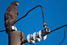 Eagle On An Electricity Pole