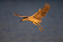 Night Heron Fly Over Blue Water