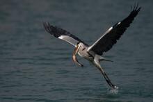 Grey Heron Bird Catch Fish