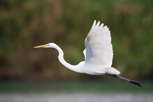 Great White Heron Fly