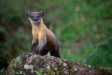 Marten In The Forest