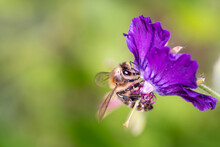 Bee Pollinates Geranium Phaeum...
