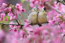 Two Birds In Pink Cherry Blossom Tree