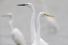 Great White Egret Bird In Taiwan
