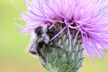 Close Up Of A Bumble Bee  On A...