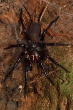 Japanese Funnel Web Spider