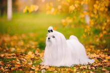 White Dog Breed Maltese Lapdog...