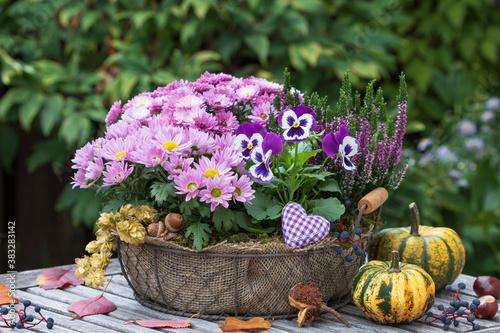 Korb mit pink Chrysanthemen, lila Stiefmütterchen und Heidekraut im Herbstgarten