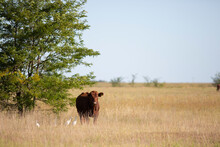 Vacas Y Toros Angus En Campo