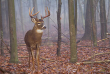 Buck Whitetail Deer In Foggy Forest.