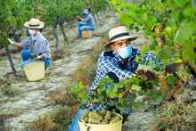 Confident Farmer, Wearing A Medical Face Mask, Decorates Rip White Grapes In The Vineyard.