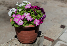 Different Bright Colorful Pink White Petunia In Red Brown Pot. Beautiful Decorative Flower With Green Leaves In Light Of Sun. Summer