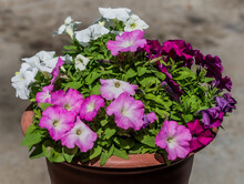 Different Bright Colorful Pink Purple White Petunia In Red Brown Pot. Beautiful Decorative Flower With Green Leaves In Light Of Sun. Summer