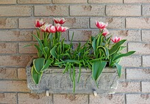 Closeup Of A Hanging Planter Box Filled With Red And White Tulips, Brick Wall In The Background