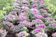 Ornamental Cabbage Of Green And Purple Flowers Growing In Rows In The Park For Decoration