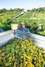 Young Man Engaged In Cultivation Of Grapes In Vineyard, Picking Ripe Bunches Of Grapes In Truck