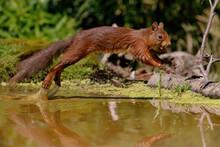 Eurasian Red Squirrel (Sciurus...