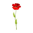 Scarlet Poppy as Herbaceous Flowering Plant on Thin Stem with Green Leaves Vector Illustration