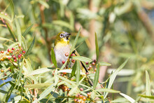 Cape White-eye (Zosterops Vire...
