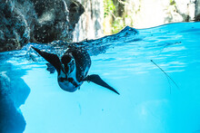 Humboldt Penguin Is Swimming In The Pool