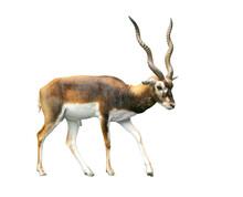 Impala Animal Isolate Is On Wh...