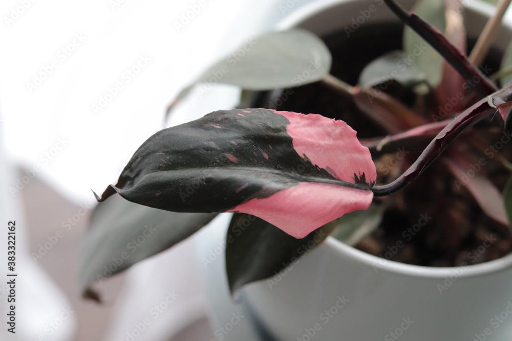 Fototapeta detail of a Philodendron Pink Princess, modern houseplant