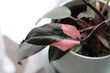 detail of a Philodendron Pink Princess, modern houseplant