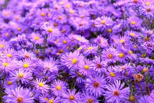 Purple Perennial Autumn Flower...