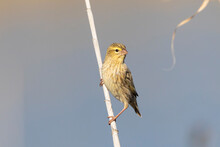 Female Southern Red Bishop (Euplectes Orix) Perched On Reed, Breede River, Western Cape, South Africa