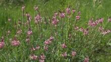 Wilde Blumen - Esparsette Mit Rosa Blüten In Einer Wiese