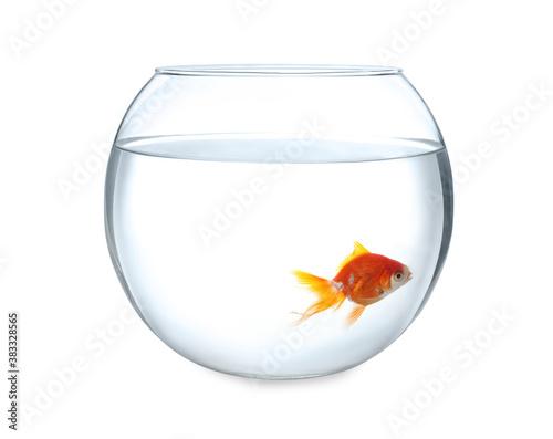 Fototapeta Beautiful bright small goldfish in round glass aquarium isolated on white