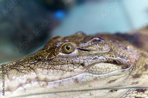alligator is a crocodile in the genus Alligator of the family Alligatoridae, the Caiman crocodile Wallpaper Mural