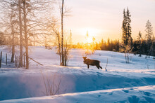 Picture Of Young Mammal Noble Deer Standing On Snowy Wild Landsc Environment In Finland, View Of Beautiful White Landscape And Animals Of North