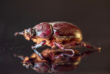 A Female Scarab Beetle On A Da...
