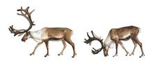 Set Of Watercolor Reindeer On ...