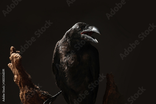 Naklejka premium Beautiful common raven perched on wood against dark background