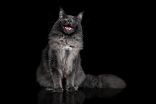 Gray Maine Coon Cat Portrait On A Black Background