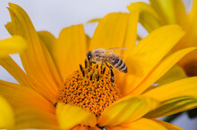 Honey Bee Collecting Pollen At...