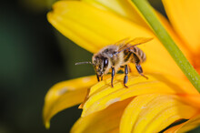 Bee Looks Upright Sitting On A Yellow Flower/bee Pollinates Yellow Flower Looking Forward
