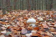 White Mushroom Of Lycoperdon Growing Among Dry Fallen Leaves In Forest