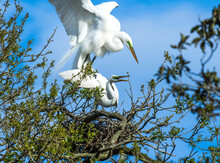 A Male Great Egret Climbs On A...
