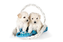 Two Small Miniature Toy Poodle...
