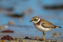 Young Common Ringed Plover Standing On A Beach Looking Directly Into The Camera (Charadrius Hiaticula)