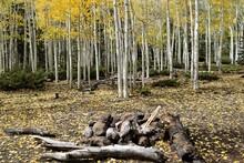Aspen Trees In Background Of Rock Firepit