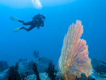 Large Gorgonian Blossomed Like A Sail On The Background Of Diver In The Indian Ocean